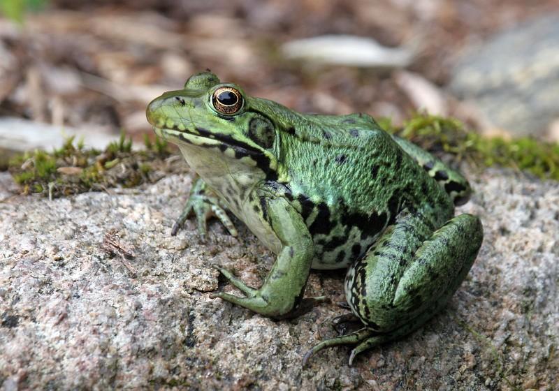 greenfrog_LarryMaster