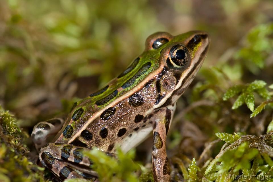 leopardfrog_LarryMaster