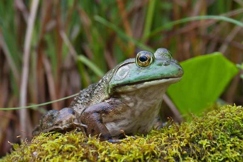 bullfrog_LarryMaster
