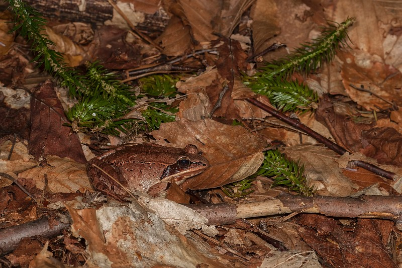 woodfrog_LarryMasater