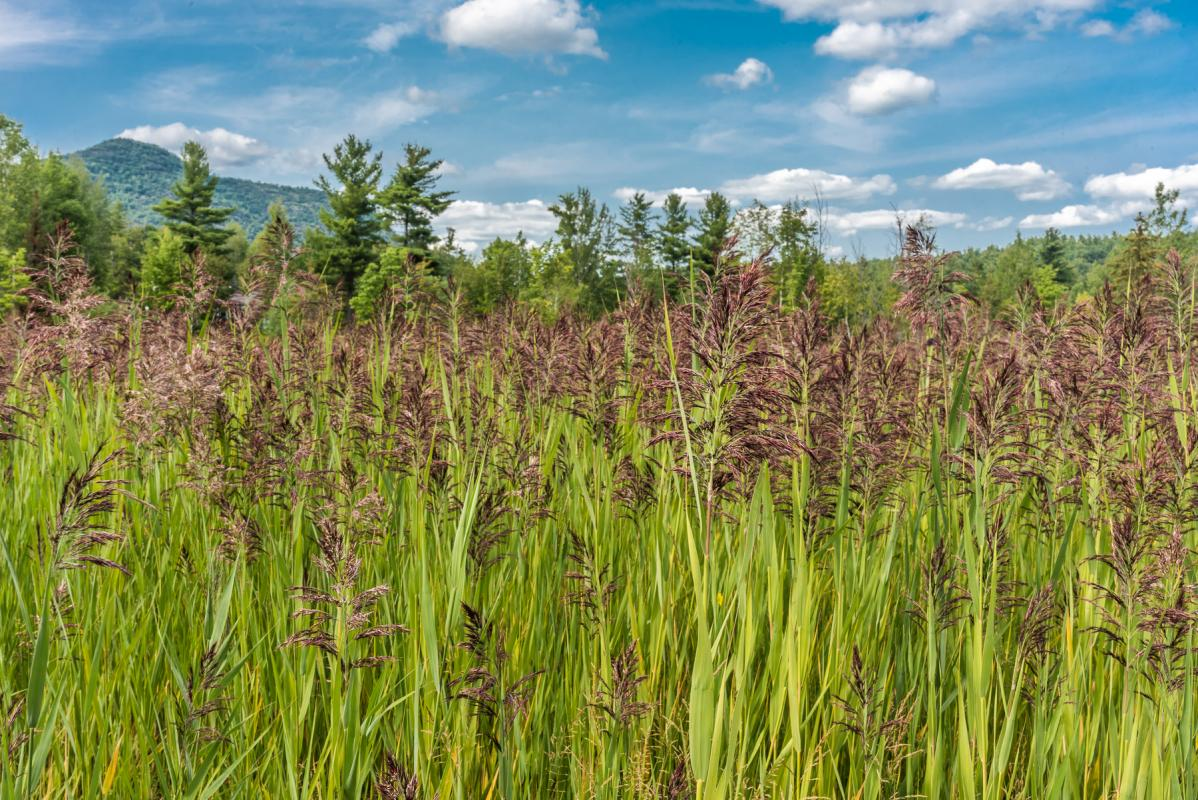 phragmites common reed