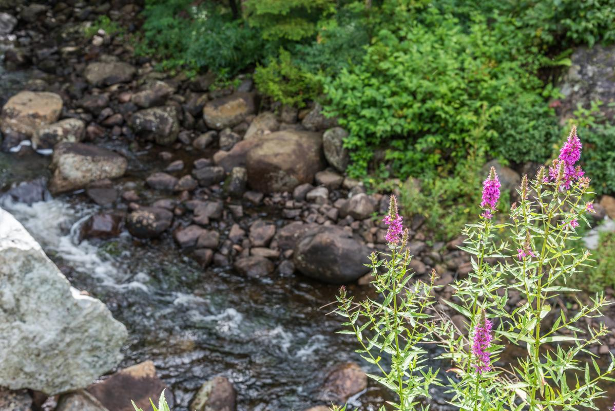 Purple loosestrife streamside