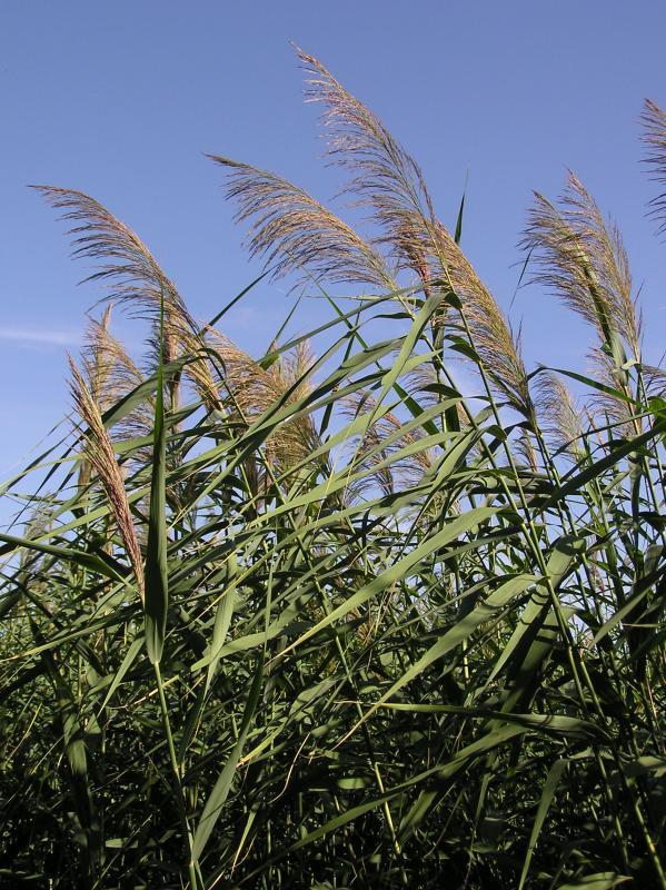 Phragmites (Common Reed)