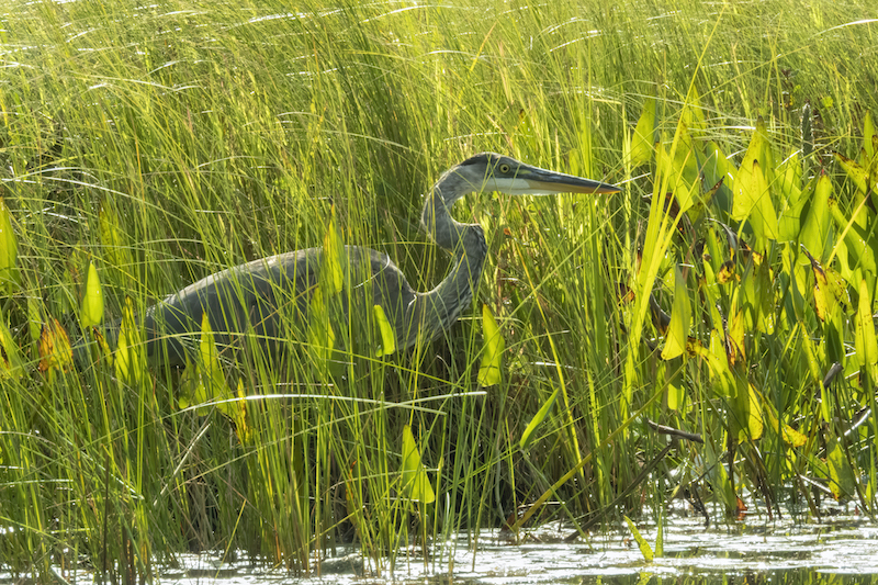 Great Blue Heron in a marsh, Larry Master