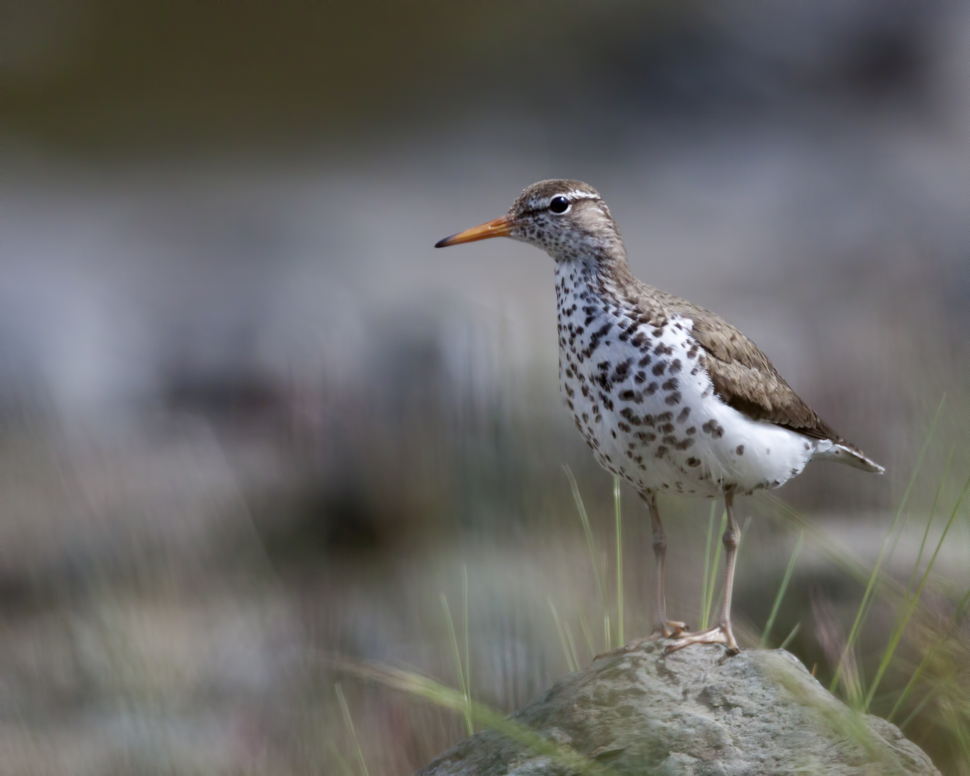 Spotted Sandpiper on a rock, Larry Master