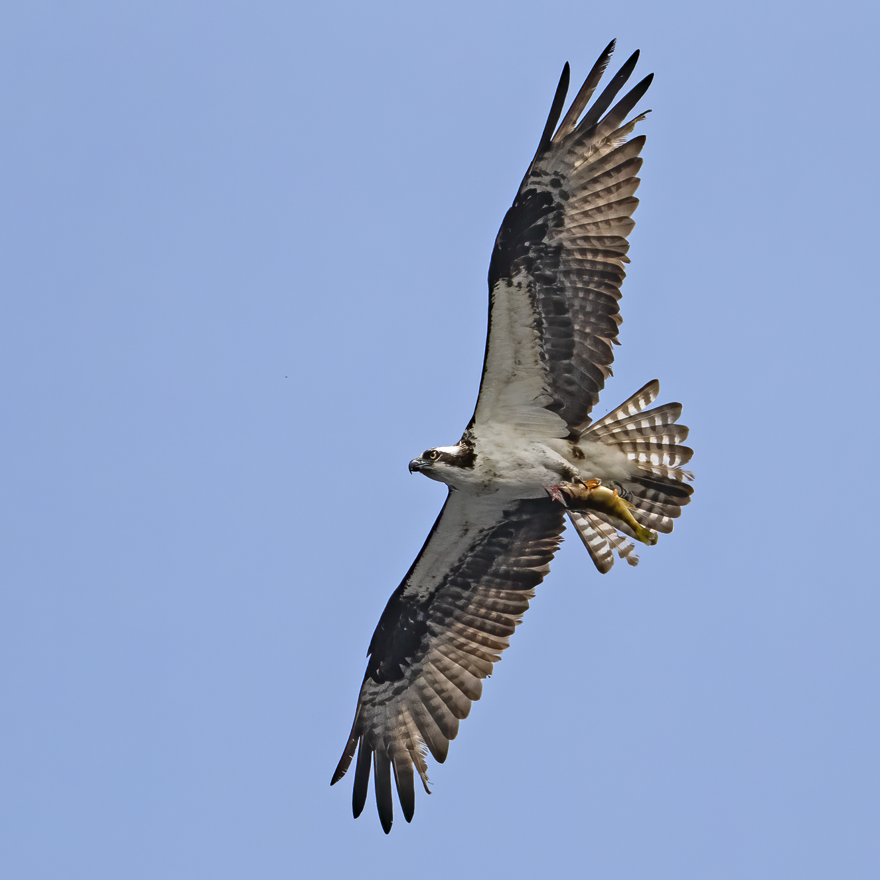 Osprey in flight on a blue sky background, grasping a yellow perch fish, by Larry Master
