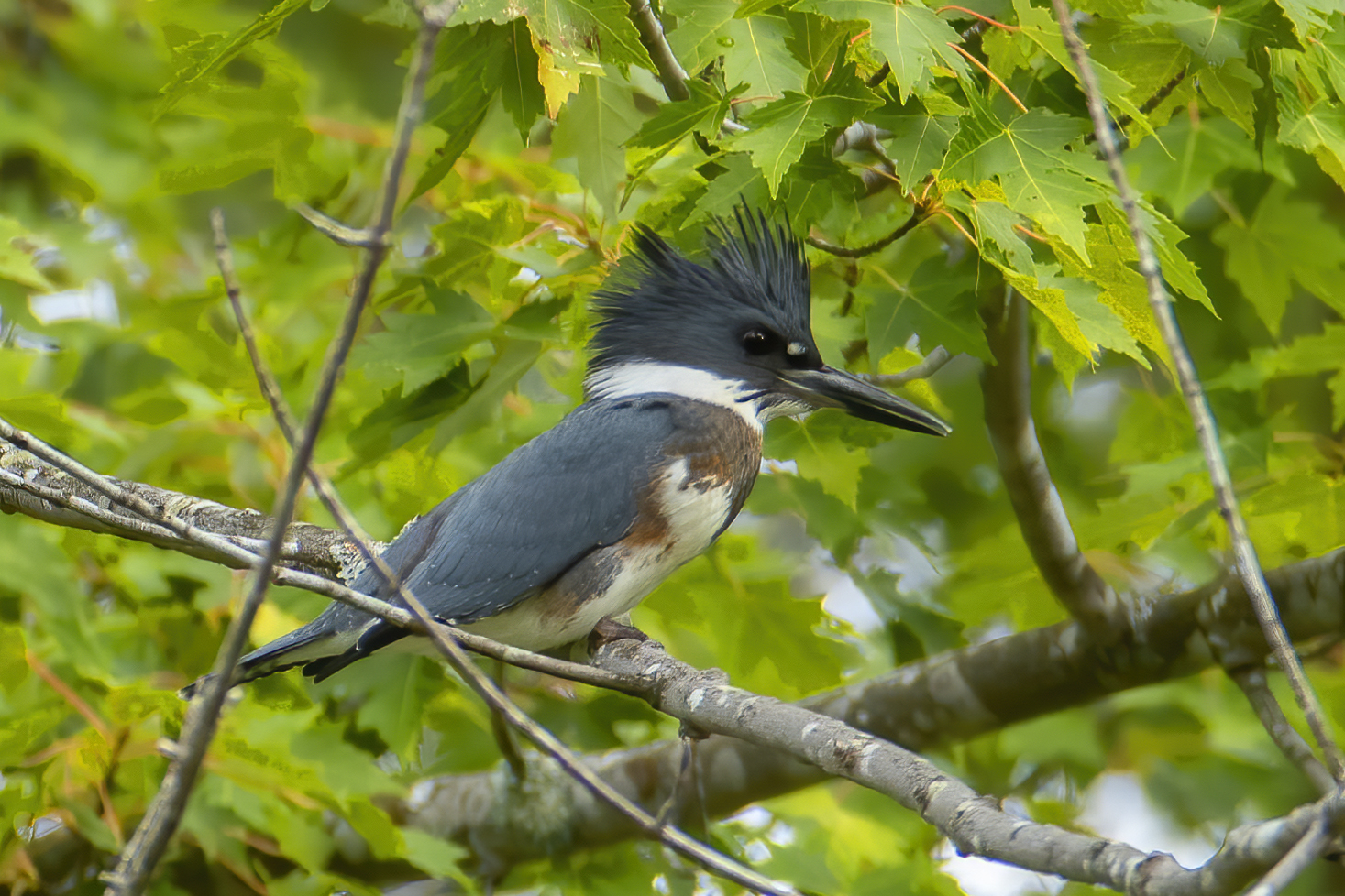 Belted Kingfisher perching on a branch, by Larry Master