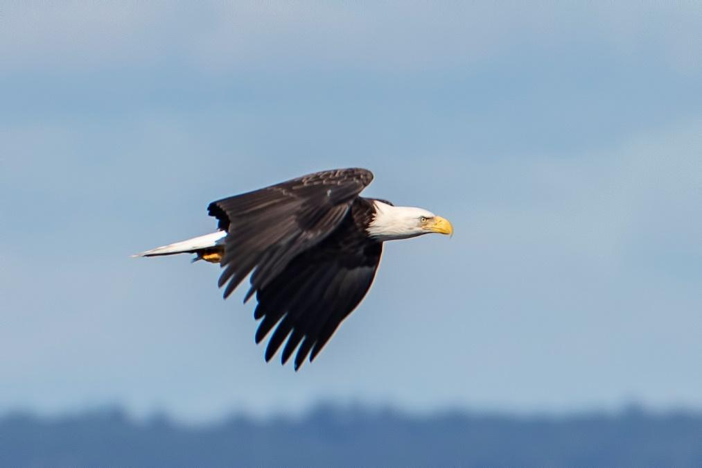 Blad eagle flying