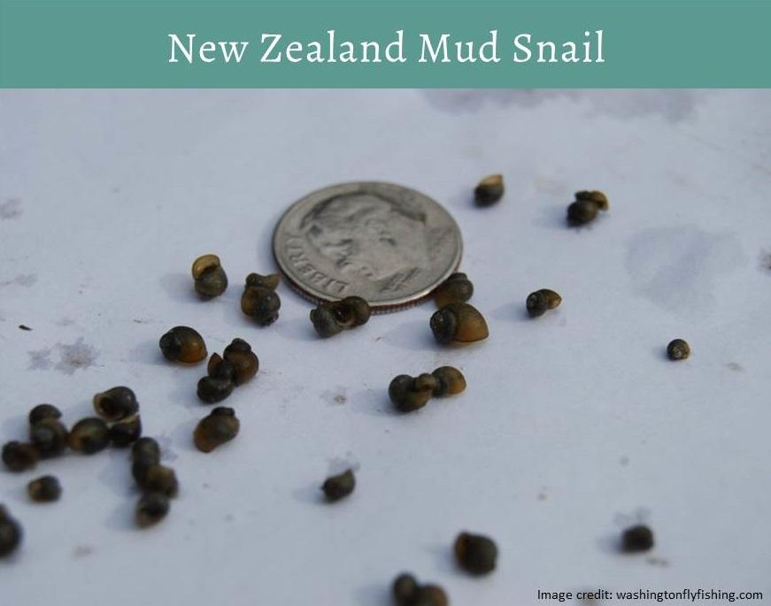 New Zealand mud snail