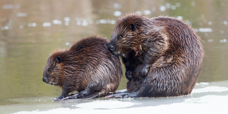 American Beaver - Larry Master
